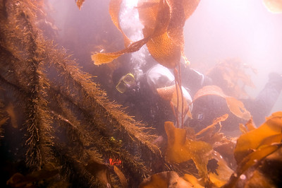 Steve disappearing into the kelp at Seiku.