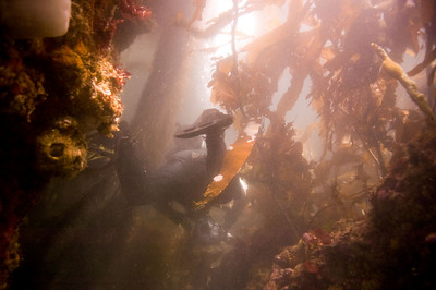 Steve maneuvering through the kelp at Seiku.