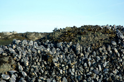 Mussels at low tide.