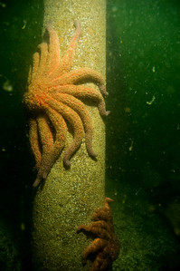 Sunflower star on the Mukilteo TDock pilings.  Visibility was 10-15 feet.  Lots of suspended particles in the water.