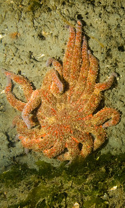 A sunflower sea star (Pycnopodia helianthoides) hanging on the clay wall between 70 and 80 feet.  It was high tide.
