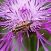 Soldier beetle on knapweed