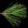 Pinus strobus<br /> Eastern white pine