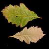 Quercus bicolor<br /> Swamp white oak