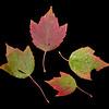 Acer rubrum <br /> Red maple