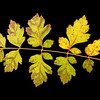Koelreuteria paniculata<br /> Golden rain tree