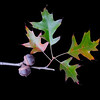 Quercus palastrus<br /> Pin oak