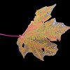 Acer saccharum<br /> Sugar Maple