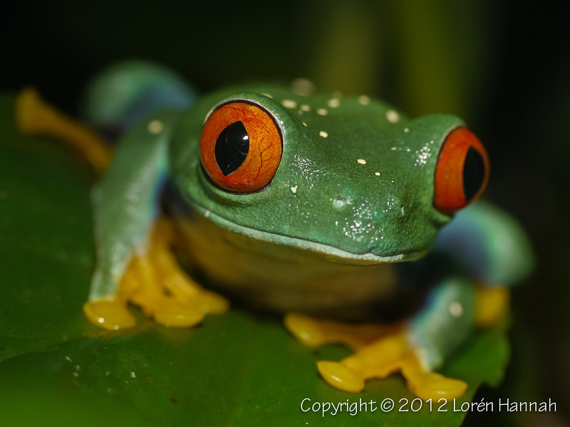 Red-Eyed Tree Frog-1450517