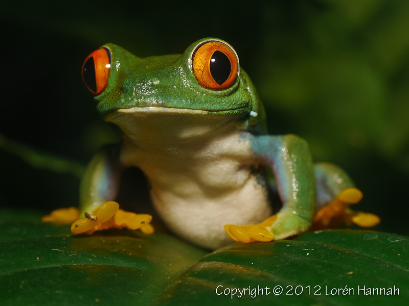 Red-Eyed Tree Frog-1460112
