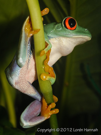 Red-Eyed Tree Frog-1450564