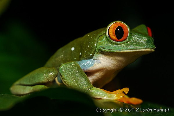 Red-Eyed Tree Frog-1460116