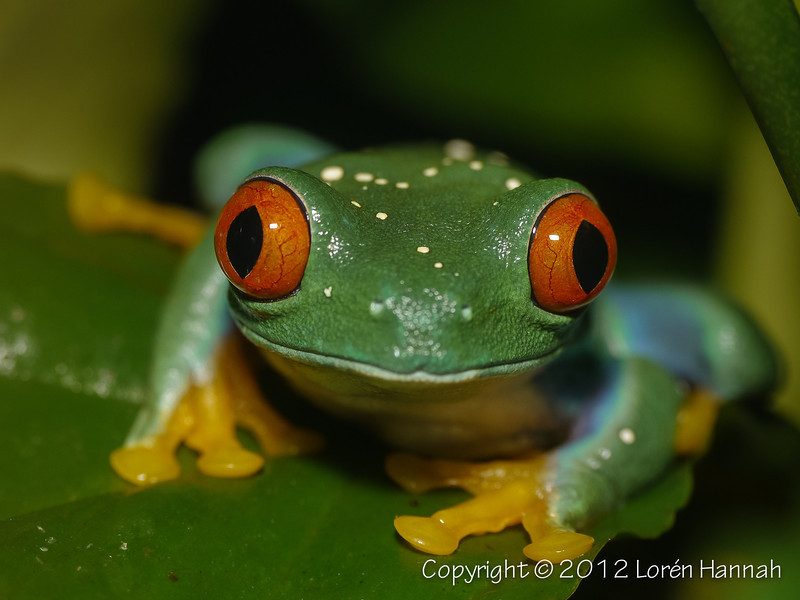 Red-Eyed Tree Frog-1450507