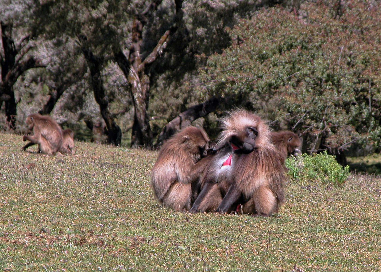 GELADA BABOONS  - SIMIEN MOUNTAINS