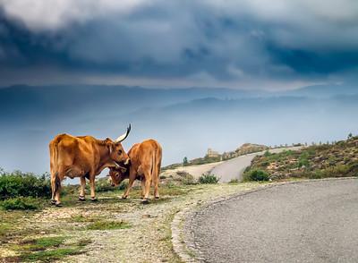 Free ranging cows in Peneda Gerês National Park
