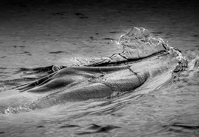 Fin whale (Balaenoptera physalus)