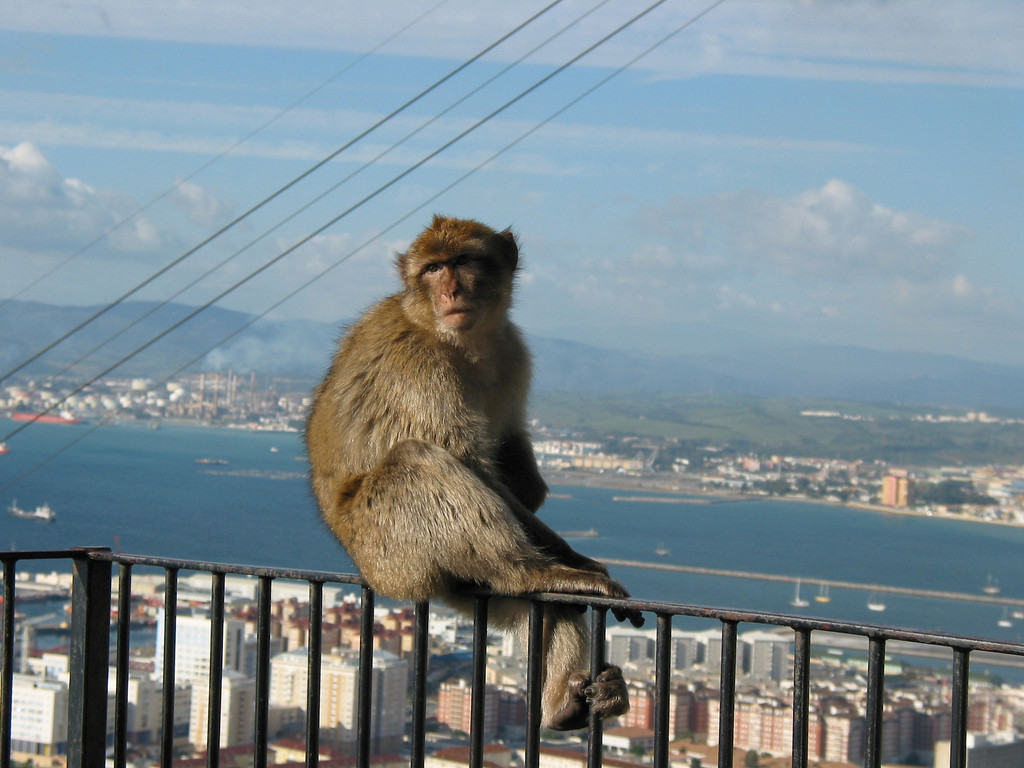 The monkeys are currently managed by the government of Gibraltar. The macaques receive a daily supply of fresh water and vegetables, fruit and seeds as supplement to other natural resources. The animals are caught on a regular basis in order to check their health status. All monkeys have a tattoo number and micro chip as a means of identification.