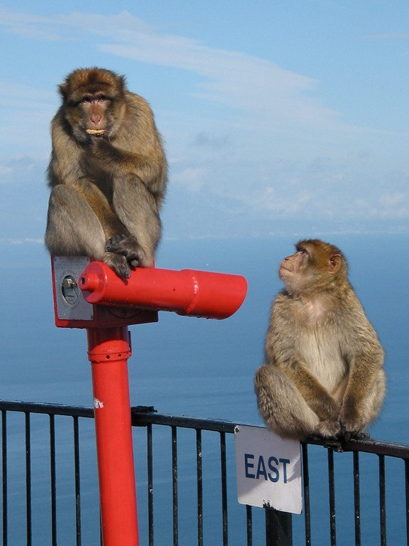 The Barbary Macaque population in Gibraltar is the last in Europe. There are over 200 in five troupes that occupy the Upper Rock.