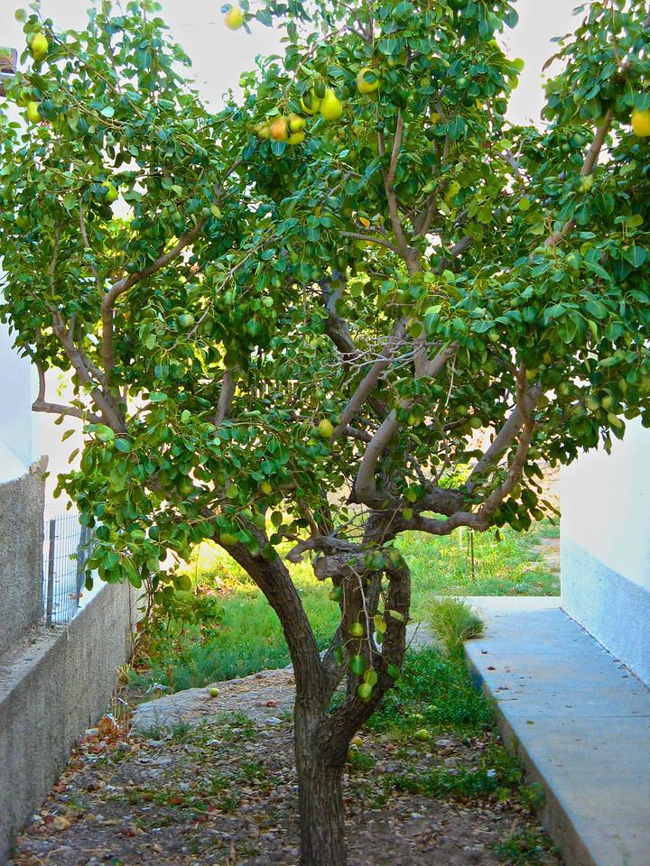 A pear tree.