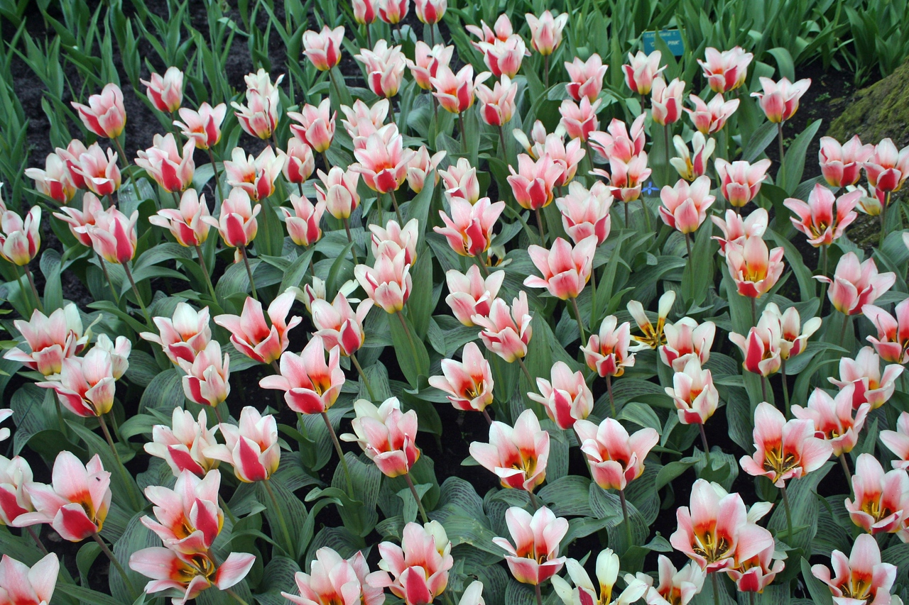 Each year, over 7 million bulbs are planted in the gardens.