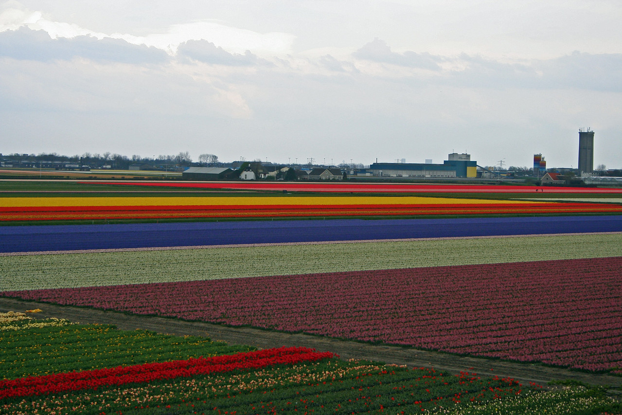 As you go just about anywhere across the Netherlands in the spring, you can see the fields of tulips and other flowers for miles and miles.