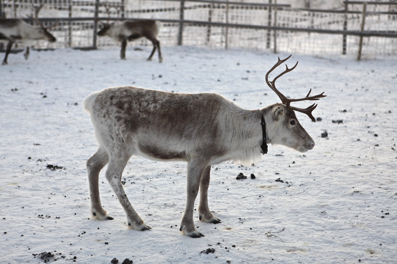 This family shares a herd of 6000 reindeer with another family.  Years ago, there was a marked decrease in the reindeer population, so the families joined forces to maintain and increase the herd.