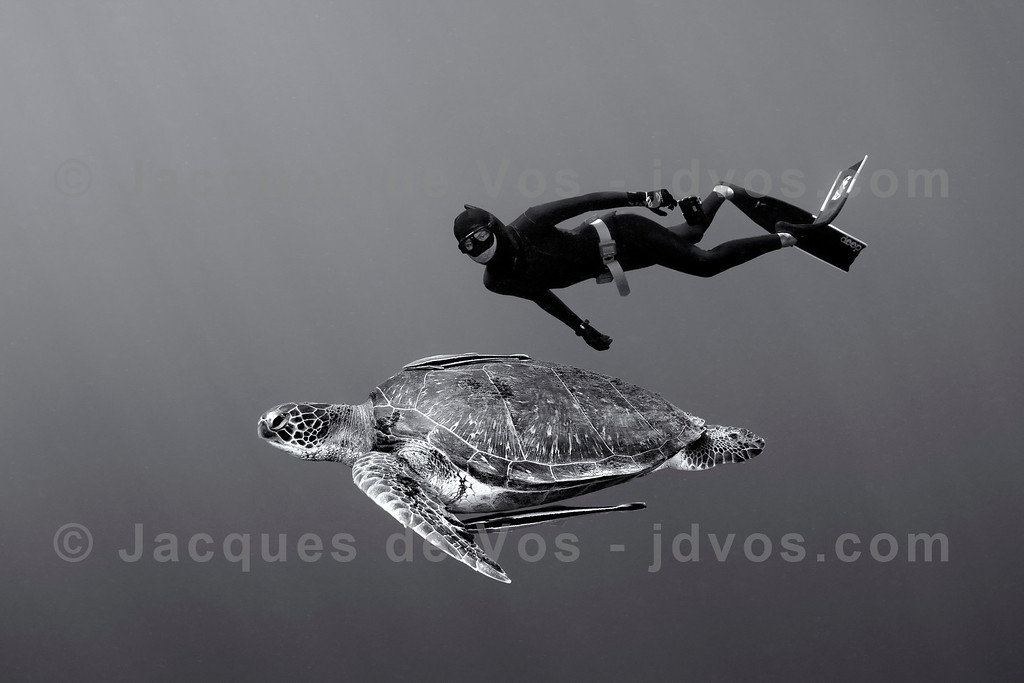 Serene<br /> <br /> Shot taken While Freediving (on a single breath)<br /> <br /> Record Italian Freediver Linda Paganelli alongside a Green Turtle in Dahab, Egypt.<br /> <br /> Ikelite 7D Housing (8'' Dome Port)<br /> Ikelite DS-161 Strobes