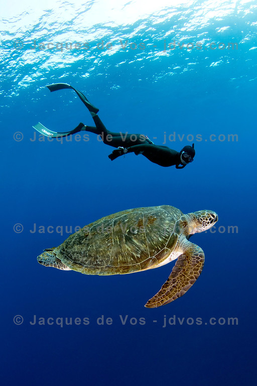 Five Hours On One Breath...<br /> <br /> Shot taken while Freediving (on one breath)<br /> <br /> An adult Green Turtle can stay submerged for up to 5 hours...its heart rate slowing down to 1 beat per minute.<br /> <br /> Red Sea - Egypt (Dahab)<br /> <br /> Ikelite 7D Housing (8'' Dome Port)<br /> Ikelite DS-161 Strobes