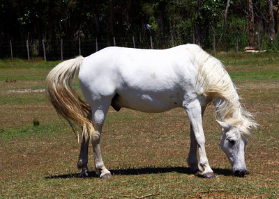 WHITE HORSE OF THE CAMARGUE