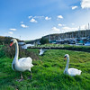 Swans on the banks of the River Helford in Gweek Cornwall,England