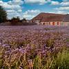 Thistle field, Scotland