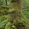Mossy Tree-face, High Park Wood, Cumbria, England