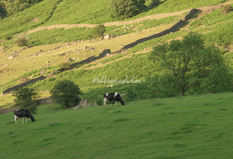 Fresian Cows near Fisherplace Gill, Thirlmere, Cumbria, England