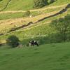 Fresian Cows near Fisherplace Gill, Thirlmere, Cumbria, England
