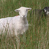 Cumbrian Sheep, Thirlmere, Cumbria, England