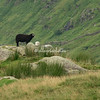 Sheep at SheepFold, Cumbria, England