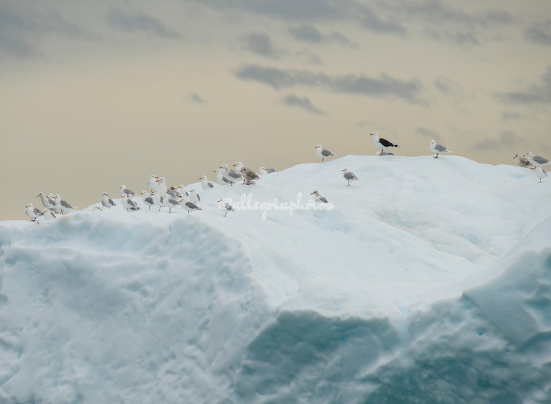 A flock of gulls on top of a giant iceberg, Sermilik Fjord