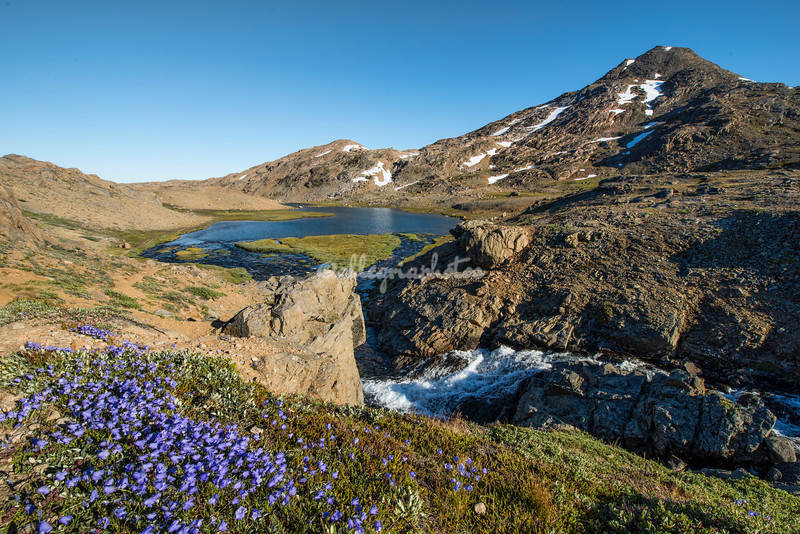 Campanulla along the cliffs, Valley of Flowers, Tasiilaq