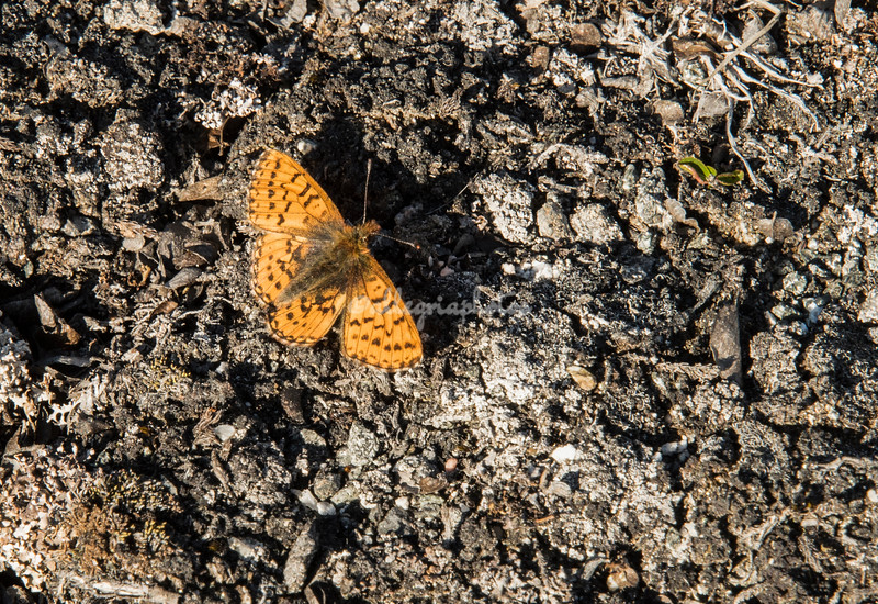 A yellow Arctic Fritillary butterfly amidst the lava on Sarpaq Island