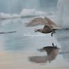 A juvenile glaucous gull in flight.