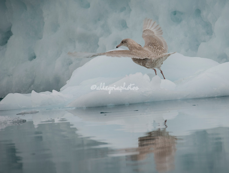 A juvenile glaucous gull taking off from an iceberg