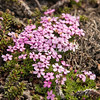 Greenland flowers