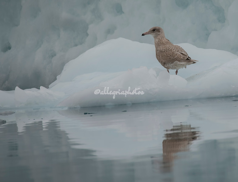 A juvenile glaucous gull on the iceberg