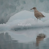A juvenile glaucous gull on the iceberg