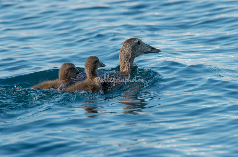Eider duck with two chicks amongst the ice, Sermilik Fjord