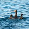 Eider Duck with two chicks amidst the ice, Sermilik Fjord