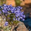 Campanulla flowers grow along the rocky shores of Angmassalik Island