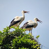 Two storks on nest