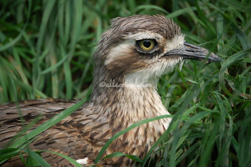 Bride Bird