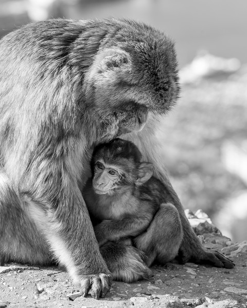 Close-up of a monkey with its young, Gibraltar, British Overseas Territory, Iberian Peninsula